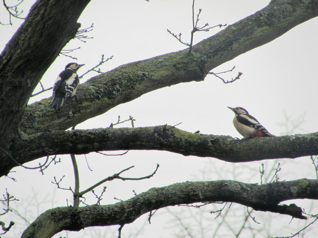 Woodpeckers on oak tree