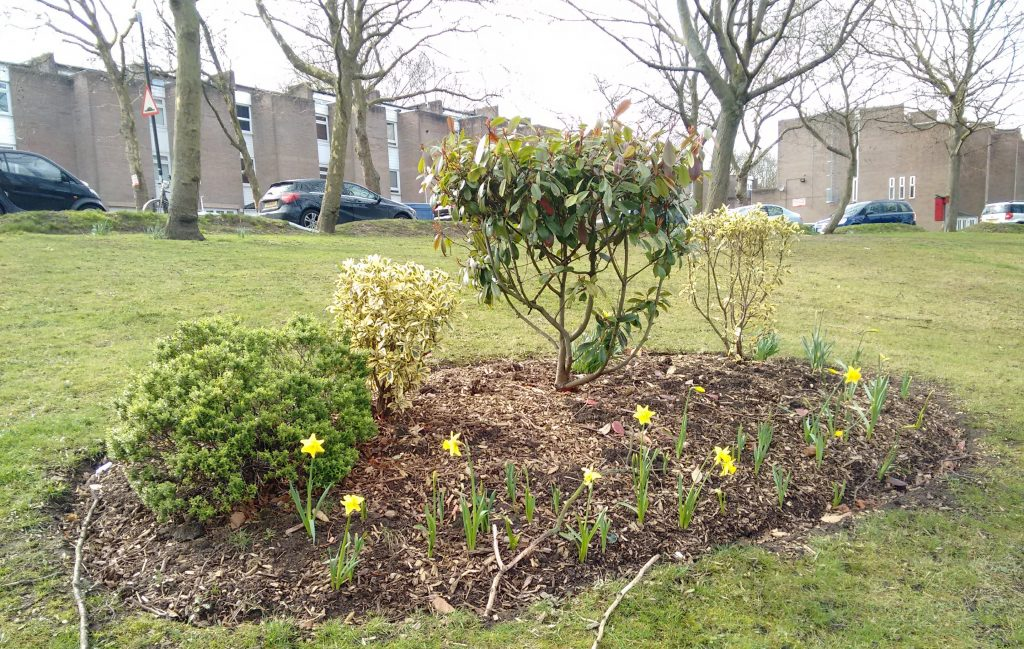 Daffodils next to Christchurch Road